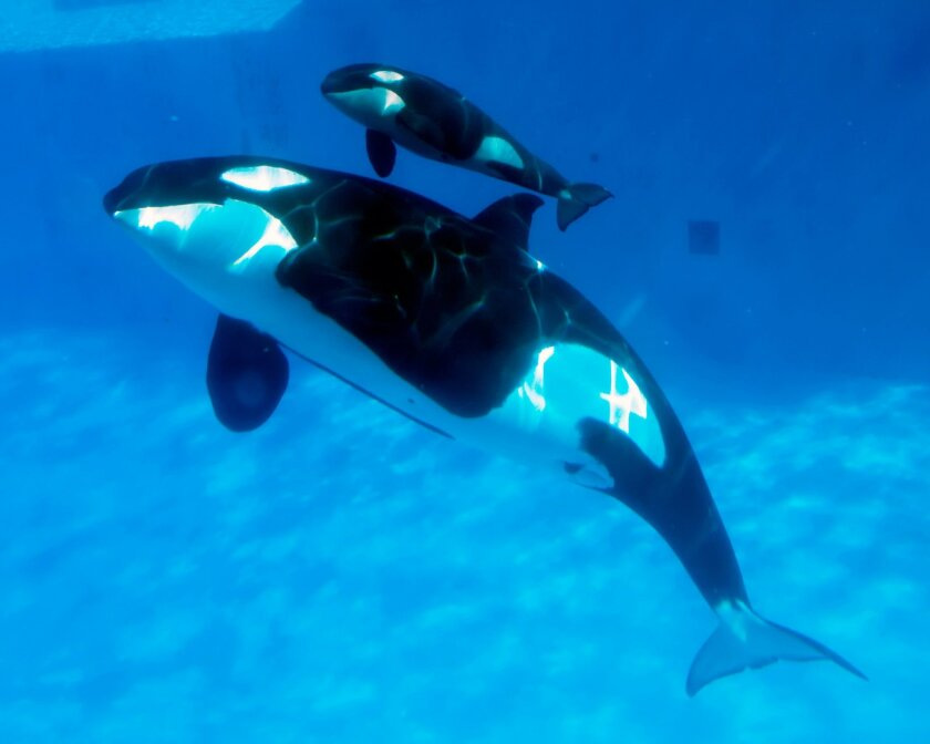 SAN DIEGO (Feb. 14, 2013) -- SeaWorld San Diego announced the birth of a baby killer whale, the sixth successful killer whale birth in the park's nearly 49-year history. Kasatka, estimated to be 37, gave birth at Shamu Stadium. The birth occurred at 6:33 a.m. Feb. 14, 2013. After a nearly 18-month gestation, Kasatka's calf, estimated to weigh between 300 and 350 pounds and measure between 6 and 7 feet, was born in Shamu Stadium's main show pool following a little more than an hour of labor. Photo Seaworld.