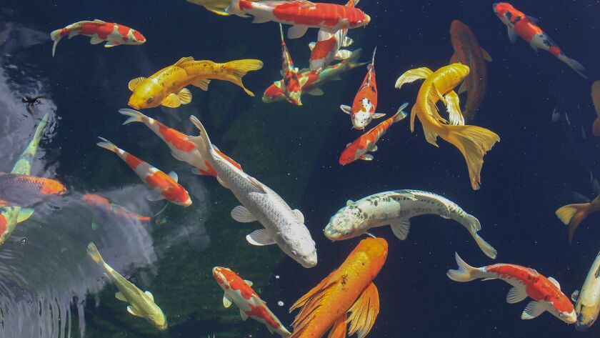 "Koi are known as ""living jewels"" and come in a variety of colors."