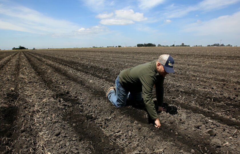 In this photo taken Monday, May 18, 2015, Gino Celli checks the moisture of land just planted with corn seed on land he farms near Stockton, Calif. Celli farms 1,500 acres of land and manages another 7,000 acres, has senior water rights and draws his irrigation water from the Sacramento-San Joaquin