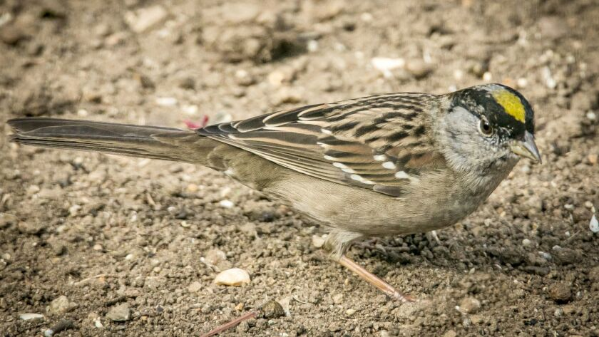 The otherwise-drab golden-crowned sparrow has a bright patch of gold feathers on its crown.