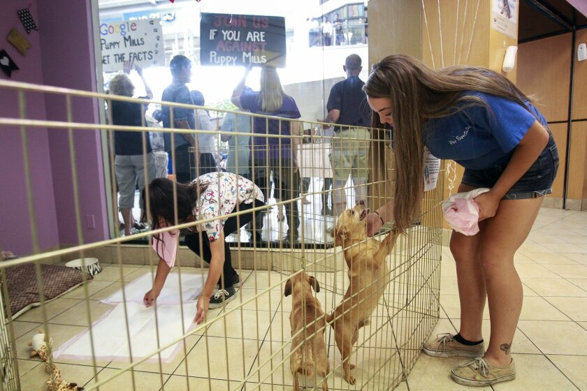 Haley Lutt, assistant manager at Escondido Pets, plays with dogs available for sale at the store Saturday as animal rights activists hold a protest outside. / photo by Hayne Palmour IV * U-T