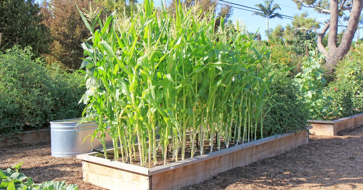Garden mastery: Plain facts on growing sweet corn