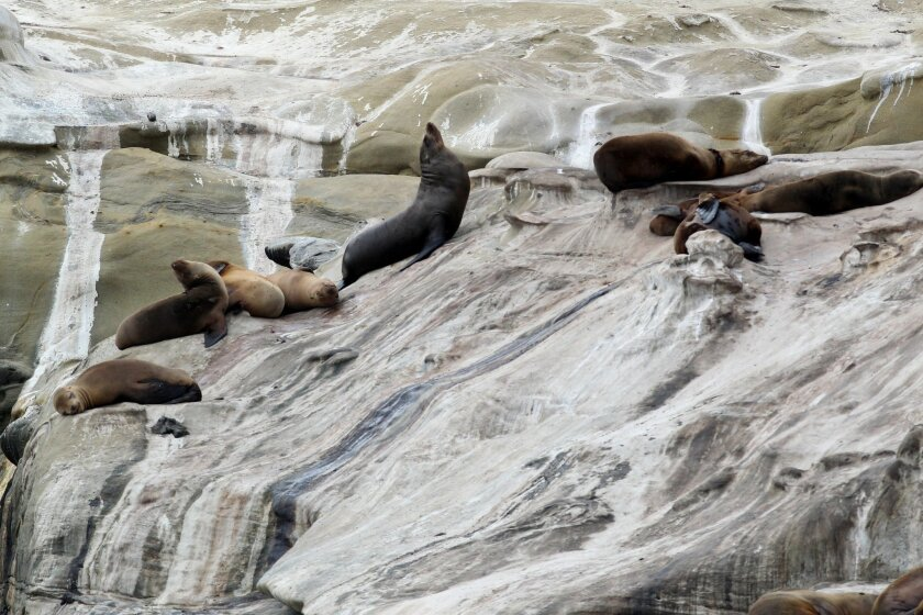 California sea lions lounged on the guano covered cliffs east of la Jolla Cove on Tuesday, May 28, 2013.
