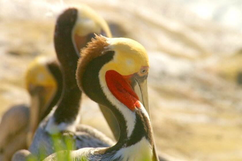 A pelican develops its breeding plumage, with bright red pouch, yellow head and white neck stripe as spotted in La Jolla.