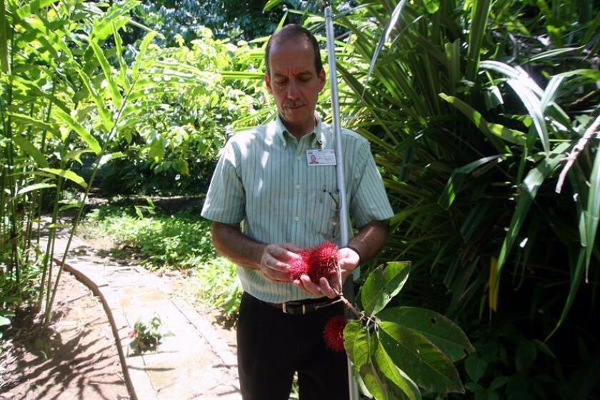 El investigador Ricardo Goenaga, director de la Estación Experimental de Agricultura Tropical localizada en Mayagüez, al oeste de Puerto Rico, muestra un fruto del rambután, una fruta exótica originaria de Malasia. EFE/Archivo