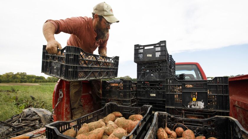 Greenhouse manager Dylan Grose loads a batch of sweet potatoes at PrairiErth Farm.