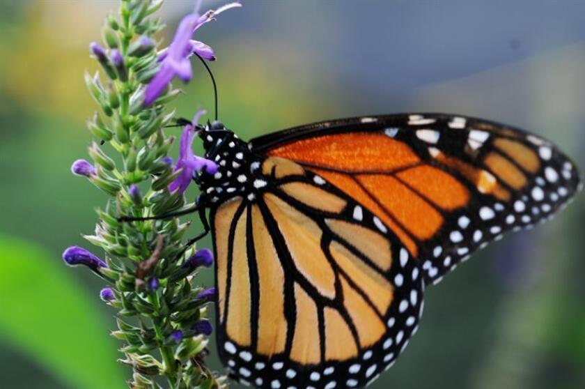 Vista de una mariposa monarca, (Danaus plexippus). EFE/Archivo