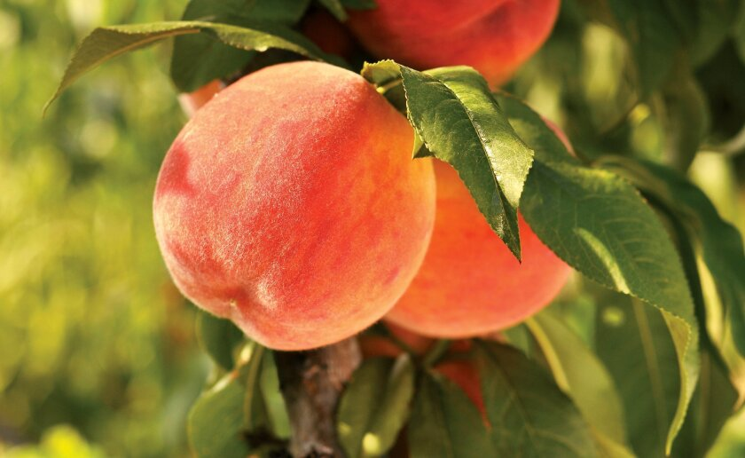 Tips On Caring For Fruit Trees The San Diego Union Tribune
