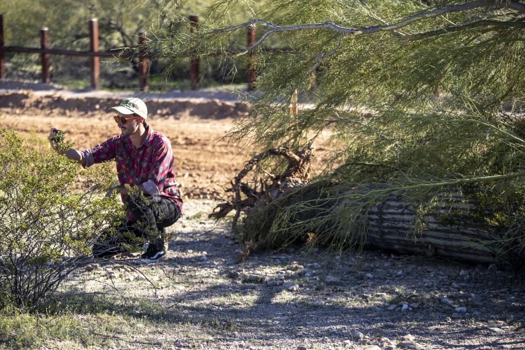Former park ranger Laiken Jordhal documents a saguaro cactus on the ground after it was uprooted by and covered up by construction crews making way for new border wall in Organ Pipe Cactus National Monument in Arizona.