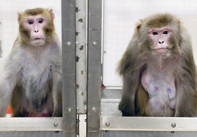 A 27-year-old rhesus monkey (left) on a restricted diet appears much younger than a 29-year-old non-dieting monkey. (University of Wisconsin / New York Times News Service)