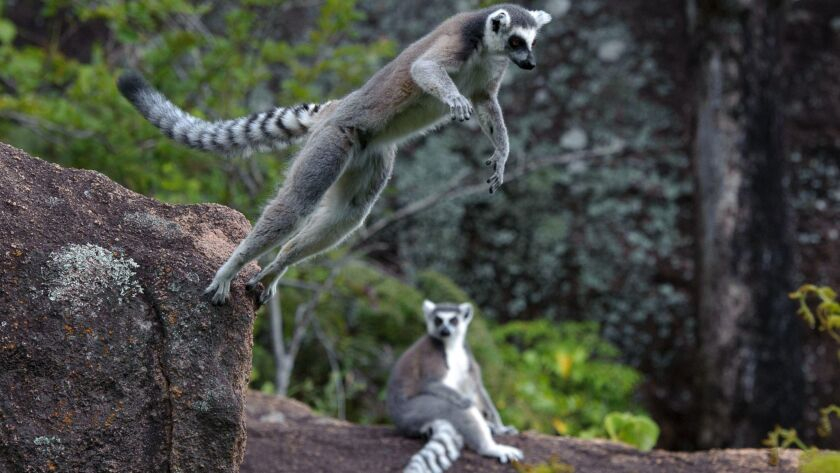 'Island of Lemurs: Madagascar' screens at Fleet Science Center.