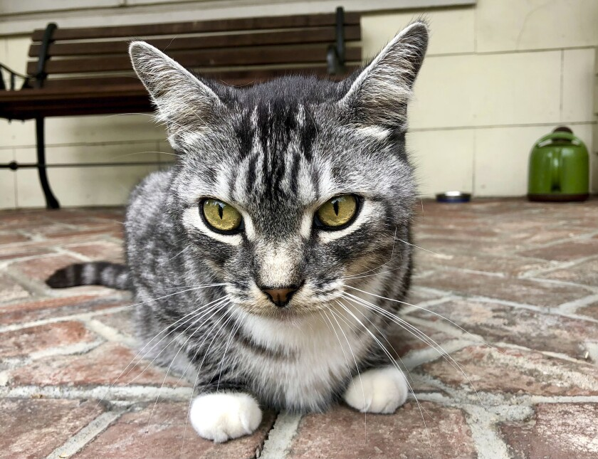 This photo provided by writer Solvej Schou shows Schou's neighbors' cat, Kevin as he sits on Schou and her husband's porch on Aug. 21, 2021 in Pasadena, Calif. (Solvej Schou via AP)