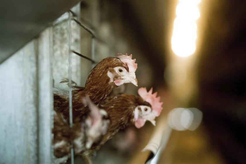 Vista de unas gallinas en una granja en San Juan, Puerto Rico. EFE/Archivo