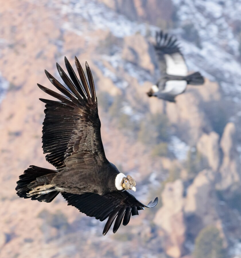 Flight Of The Condor Requires Almost No Flapping Study Says Los Angeles Times