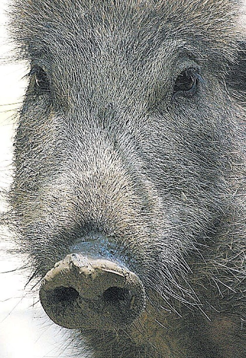 Escaped Russian or wild boars have invaded San Diego's backcountry, causing environmental concerns.