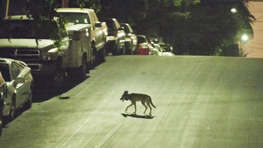 A coyote crosses a street in the densely populated Westlake neighborhood, just west of downtown Los Angeles, in 2015.