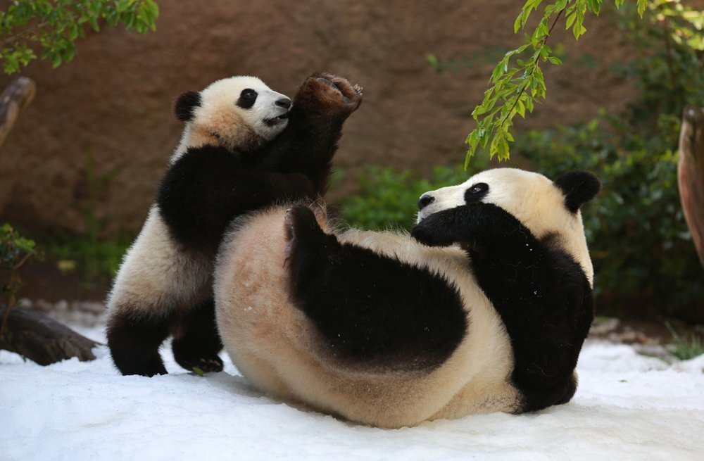 Giant panda snow day
