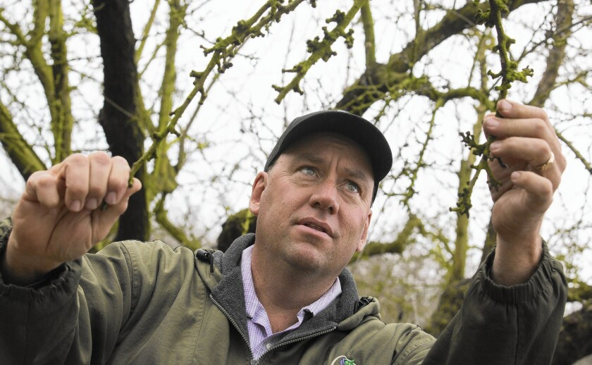 Nick Blom looks over almond trees in Modesto. He's a volunteer in an experiment run by UC Davis that could offer a partial solution to California's perennial water shortages.