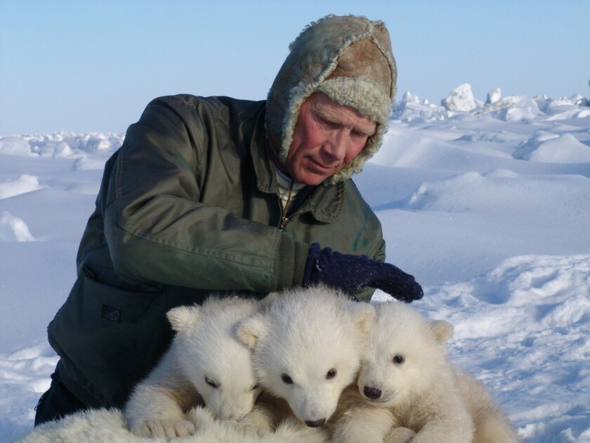 Researcher Steve Amstrup works with polar bear cubs in Prudhoe Bay, Alaska, in 2005.