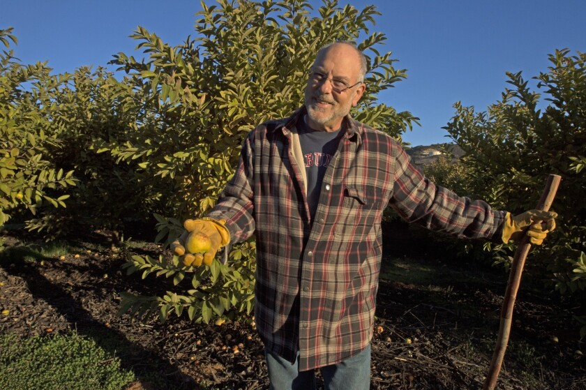 Bill Vogel picks a Ruby Supreme guava at his Rancho Encantado in De Luz (Fallbrook).