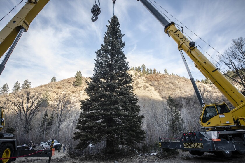The 2019 U.S. Capitol Christmas Tree tree cutting ceremony took place Wednesday, Nov. 6, 2019, just on the east side of Red River, New Mexico. This year's Capitol Christmas tree is a 60 foot tall, 68 year -old blue spruce, which was selected from the Questa Ranger District of the Carson National Forest. (Roberto E. Rosales/The Albuquerque Journal via AP)
