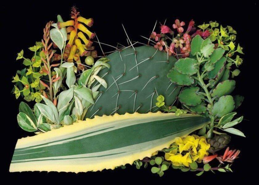 Ken Druse's plant combinations for a Southwest garden include this lineup, clockwise starting with the long, horizontal serrated leaf: the blade-like foliage of Agave americana (the cultivar Variegata); the leafy green foliage of Citrofortunella mitis (cultivar Variegata); the chartreuse flowers of Euphorbia rigida; an orange-tinged aloe called Blue Elf; Lachenalia aloides, with yellow bell-shaped flowers; the spiked cactus Opuntia engelmannii; the pink-flowered Bryophyllum daigremontianum; and the yellow-flowered Cassia didymobotrya.