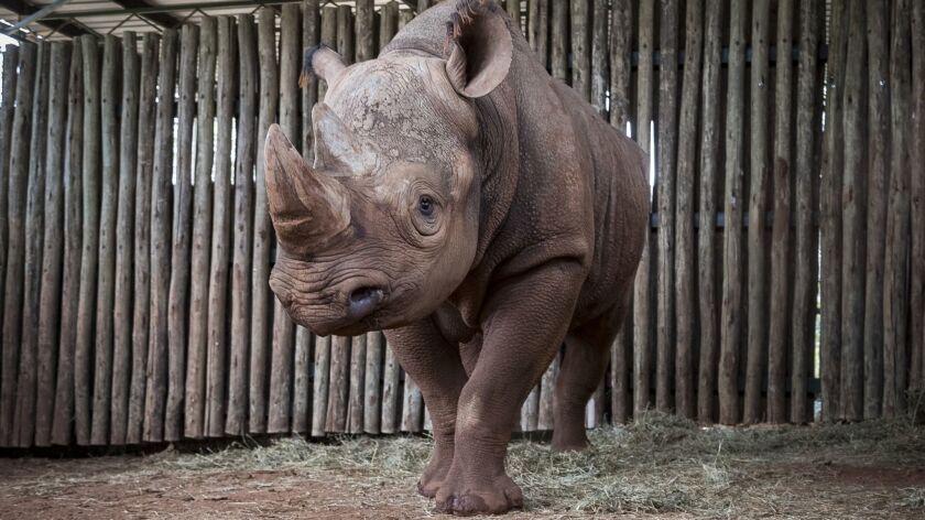 Black Rhino Eric at Singita Grumeti in Tanzania