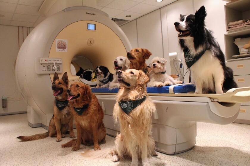 Esta imagen difundida por Eniko Kubinyi de la Universidad Eotvos Lorand de Budapest el 30 de agosto de 2016 muestra a perros entrenados involucrados en un estudio para investigar cómo estos animales procesan el lenguaje, junto a un aparato de resonancia magnética en Budapest, Hungría. El estudio publicado en la revista Sciencie muestra la manera en que los cerebros de los perros procesan las palabras con el hemisferio izquierdo y utilizan el derecho para procesar la entonación, al igual que los humanos. (Eniko Kubinyi/Eotvos Lorand University vía AP)