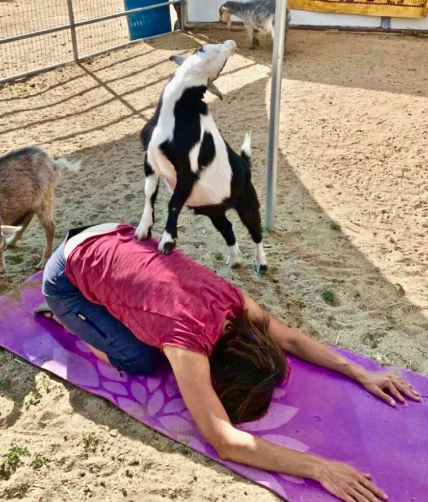 Goat yoga in Big Bear