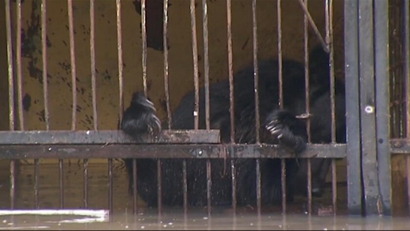 In this image taken from a bear stands in a flooded cage at a zoo in the city of Ussuriysk eastern Russia Monday Aug. 31, 2015. The flood swept through a private zoo in Russia's Far East, trapping 14 brown bears and a lion in their half-submerged cages. (AP Photo/RTR) RUSSIA OUT