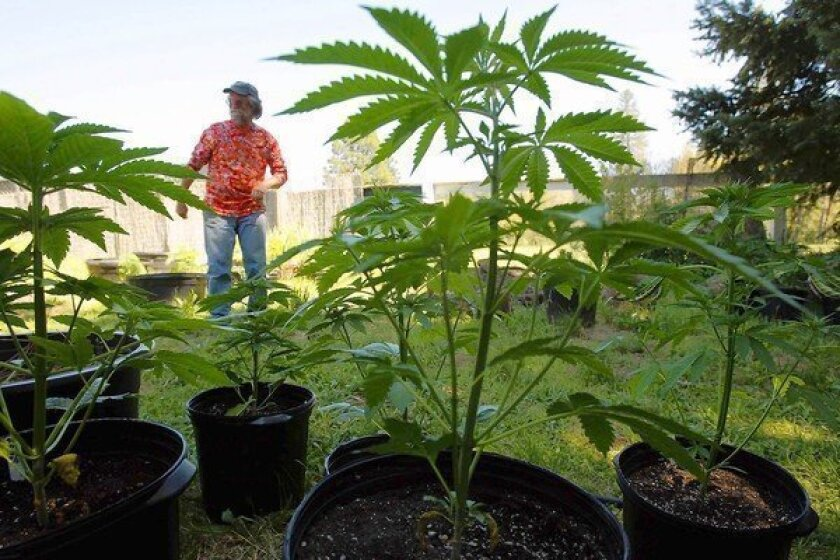 """Tom Evans, 61, a small-time grower in northern Mendocino County, is framed by marijuana plants. Evans says the sense of peace and self-reliance he moved here for 30 years ago is disappearing fast. """"There's just been this huge influx of folks who have money on their mind, instead of love of the land,"""" he says."""