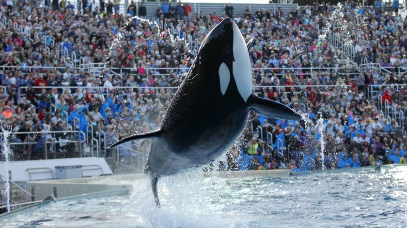 An orca whale performs during the final Shamu show, One Ocean at Sea World San Diego on Sunday, Janu