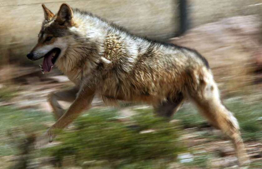 A Mexican wolf at a reintroduction facility in New Mexico