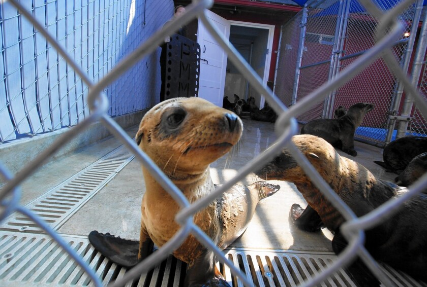 Sea lions are caged while being treated at the Pacific Marine Mammal Center in Laguna Beach in 2013.