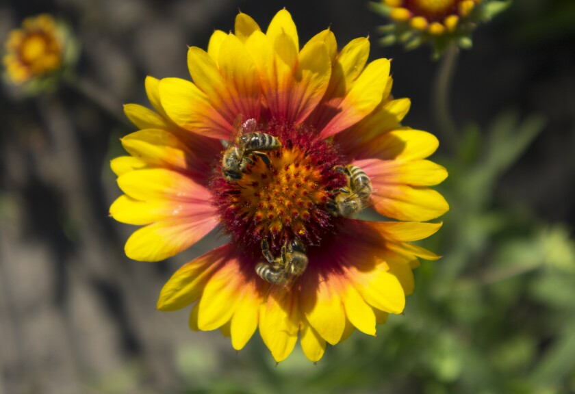 Blanket flowers will attract bees and butterflies to your garden.