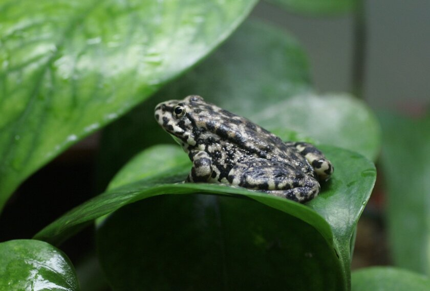 The San Diego Zoo and Wild Animal Park began a breeding program for the endangered yellow-legged frog in 2006.