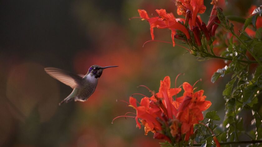 "A hummingbird feeding on honeysuckle flowers, from the photo exhibition ""Flight Plan,"" at Sunnylands Center."