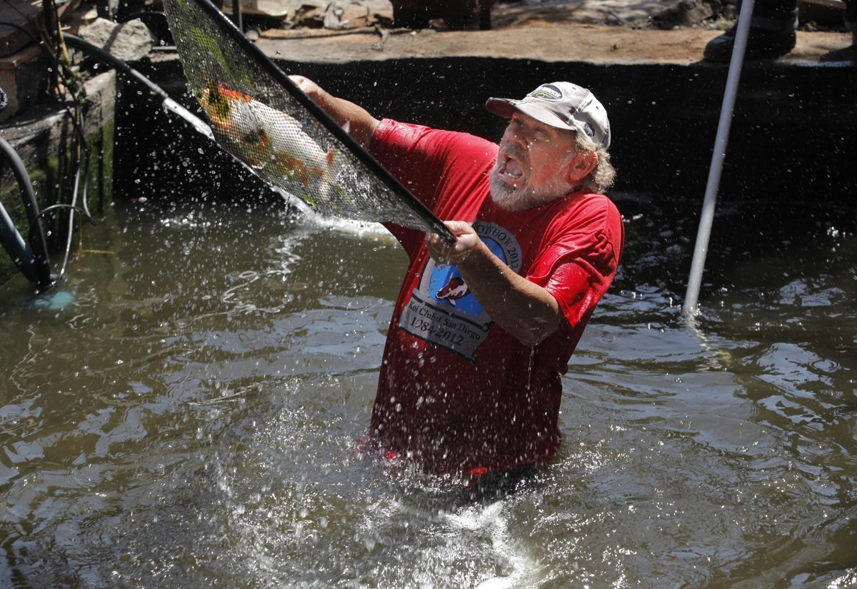 Koi rescue in Harmony Grove