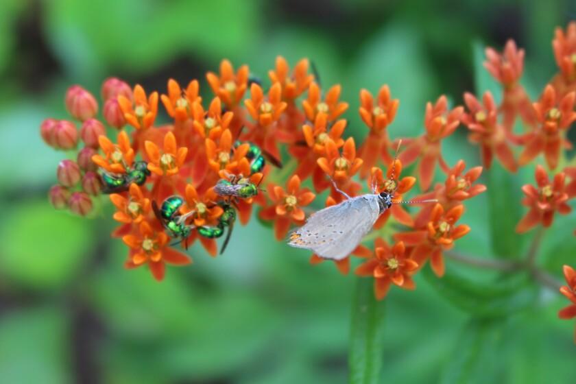 Butterfly milkweed from the longleaf pine savanna