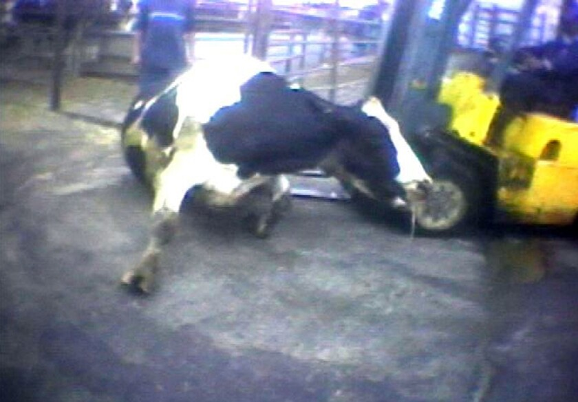"""A Hallmark Meat Packing slaughter plant worker is shown attempting to force a """"downed"""" cow onto its feet by ramming it with the blades of a forklift in Chino, Calif. in this image from a video provided by the United States Humane Society."""