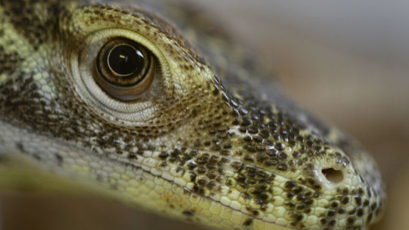 LOS ANGELES, CA., OCTOBER 22, 2013: A komodo dragon hatchling keeps a watchful eye on a visitor in a