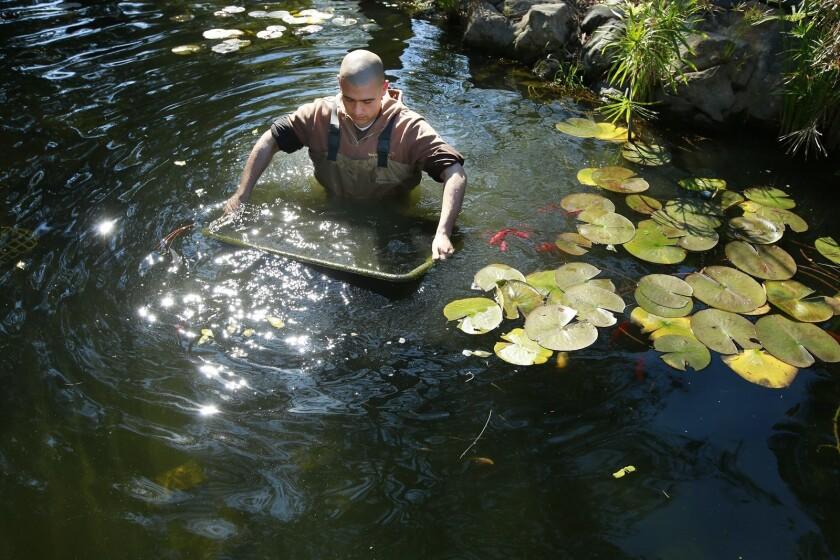 El hermano Minh Dung trabaja en el estanque koi en el Monasterio de Deer Park, un monasterio budista en Escondido. Los voluntarios del Club Koi ayudaron a rehabilitar el estanque.