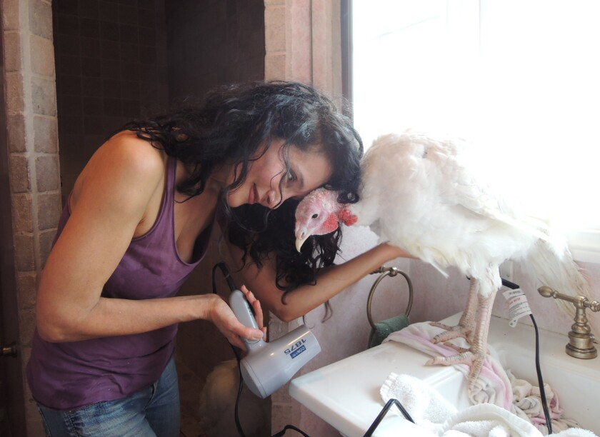 Karen Dawn blow drying a rescued turkey