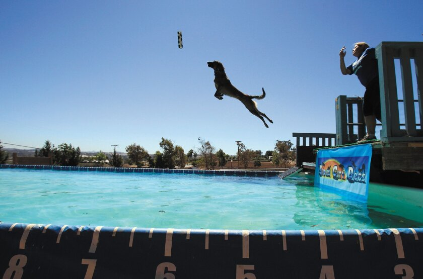 Vhoebe leaps off the dock at the Beach City Dogs pool.
