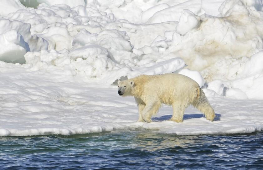 Esta imagen del 15 de junio del 2014 muestra a un oso polar en la zona del Mar de Chuckchi en Alaska. Si los seres humanos no revierten el calentamiento global ni detienen la pérdida de las capas de hielo, es improbable que los osos polares sobrevivan. Esa es la conclusión del Servicio Federal de Pesca y Vida Silvestre según el plan para la supervivencia de estos osos presentado el 2 de julio del 2015. (Brian Battaile/Servicio Geológico de Estados Unidos vía AP, archivo)