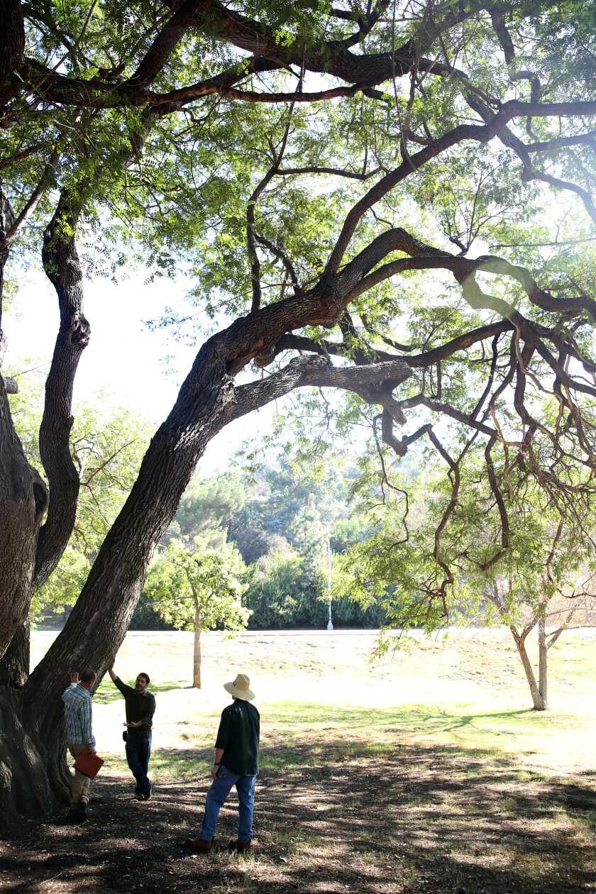 Leon Boroditsky, Jorge Orchoa, and Steve Dunlap, left to right, stand under a tipu tree, which is native to South America's tropical forests. It's one of the oldest trees in the city that stands in L.A.'s first arboretum.