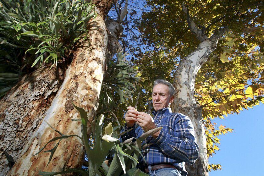 David Fleming looks at a polyphagous shot-hole borer beetle that he just dug out of the bark of a California sycamore tree in front of his Dehesa Valley home , east of El Cajon, on Saturday.