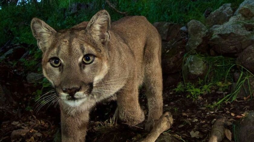 P-33, a 15-month-old mountain lion kitten, was photographed with a kill recently in the Santa Monica