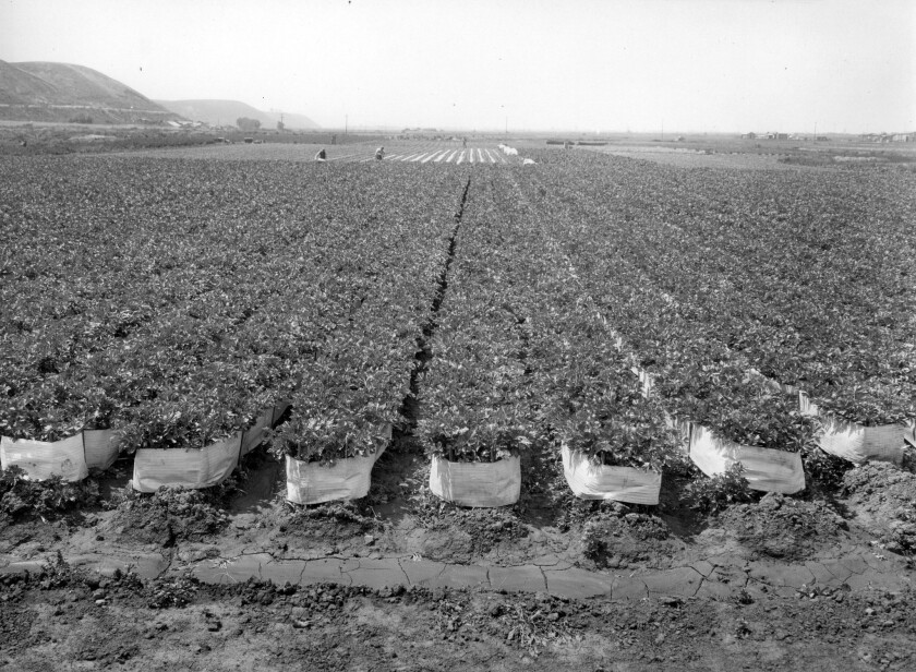 A field of summer celery in the Venice Celery District after applying blanching papers. Dated April
