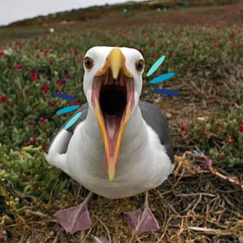 Western gulls nest on Anacapa Island.